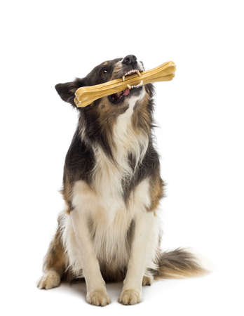 dog toy: Border Collie sitting and chewing bone against white background