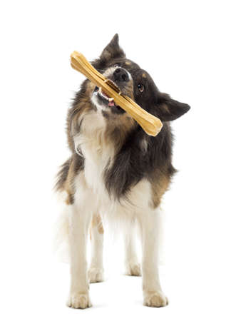 dog toy: Border Collie standing and chewing bone against white background Stock Photo