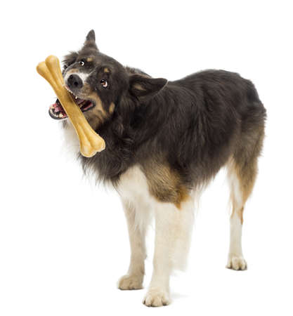 Border Collie standing and chewing bone against white background photo