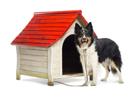 Border Collie tied to a kennel and portrait against white background photo