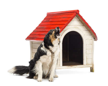 Border Collie tied and barking next to a kennel against white background photo