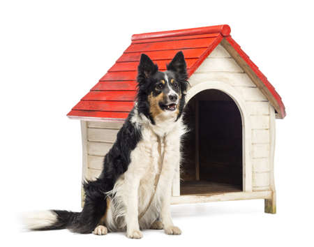 Border Collie tied next to a kennel and looking away against white background photo