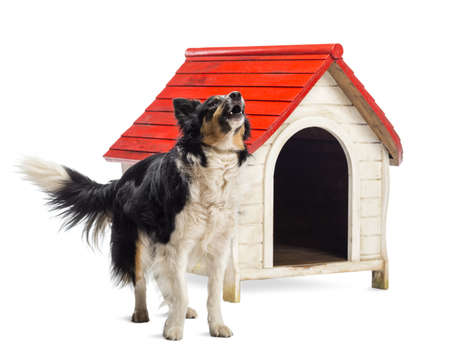 barking: Border Collie barking next to a kennel against white background
