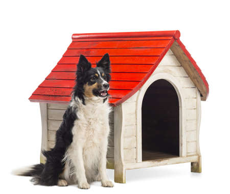 Border Collie sitting next to a kennel and looking away against white background photo