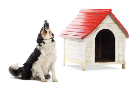 Border Collie sitting and barking next to a kennel against white background photo