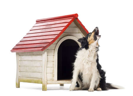 dog kennel: Border Collie sitting and barking next to a kennel against white background Stock Photo