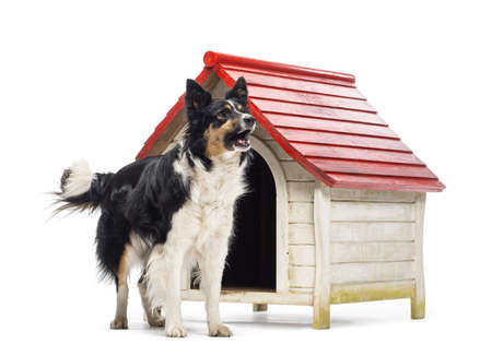 Border Collie barking next to a kennel against white background photo