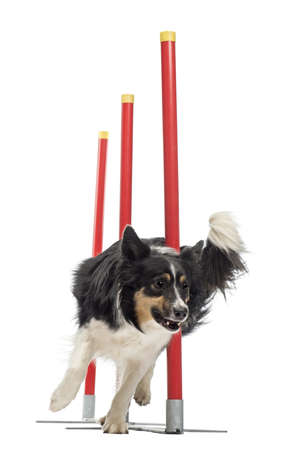 Funcionamiento del perro: Border Collie slalom contra el fondo blanco Foto de archivo