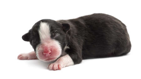 Australian Shepherd puppy, 1 day old, lying against white background photo