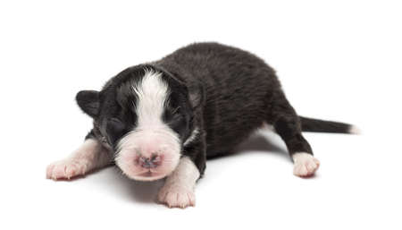 Australian Shepherd puppy, 7 days old, lying against white background photo