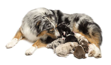 Mother Australian Shepherd with its 7 day old puppies suckling against white background photo