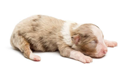 Australian Shepherd puppy, 10 days old, lying against white background photo