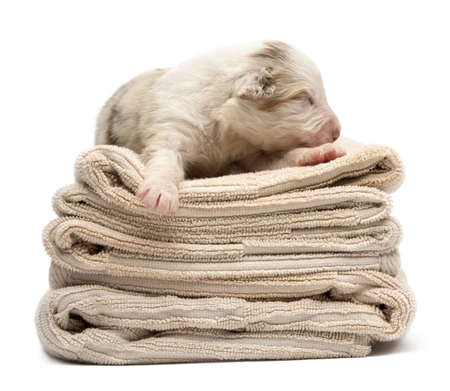 australian shepherd: Australian Shepherd puppy sleeping on a pile of towels, 12 days old against white background Stock Photo