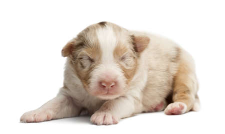 Australian Shepherd puppy sleeping, 12 days old against white background photo