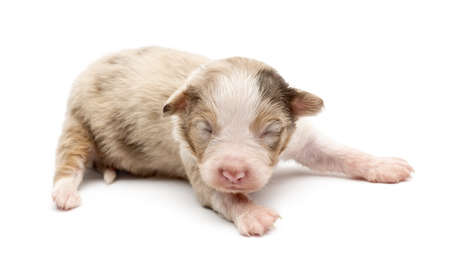 Australian Shepherd puppy, 14 days old, lying against white background photo