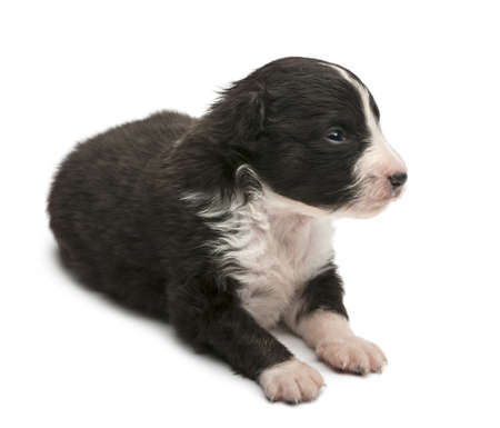 Australian Shepherd puppy, 16 days old, lying against white background photo