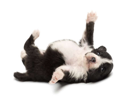 Australian Shepherd puppy, 18 days old, lying on its back against white background photo