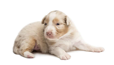 Australian Shepherd puppy, 18 days old, lying looking away against white background photo