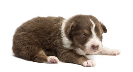 Australian Shepherd puppy, 18 days old, lying against white background photo