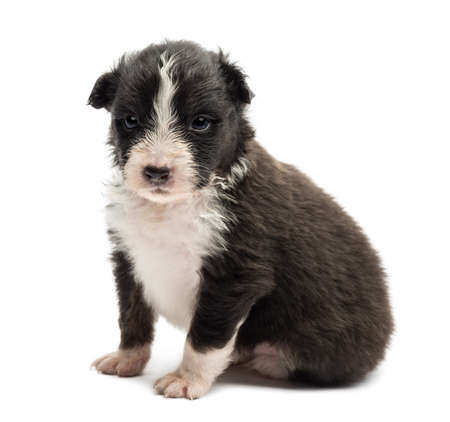 Australian Shepherd puppy, 22 days old, sitting against white background photo