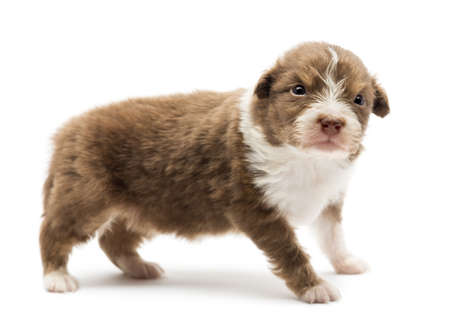 australian shepherd: Australian Shepherd puppy, 22 days old, standing with an angry look against white background