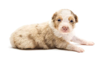 Australian Shepherd puppy, 22 days old, lying and portrait against white background photo