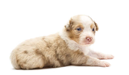Australian Shepherd puppy, 22 days old, lying and looking away against white background photo
