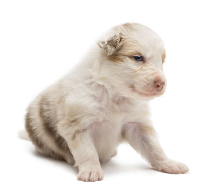 Australian Shepherd puppy, 22 days old, sitting and looking away against white background photo