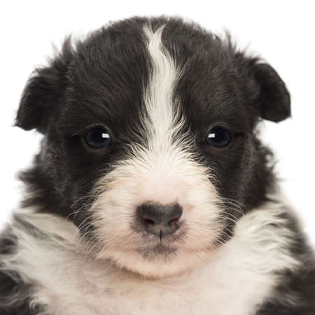 Close-up of an Australian Shepherd puppy, 22 days old, portrait against white background photo