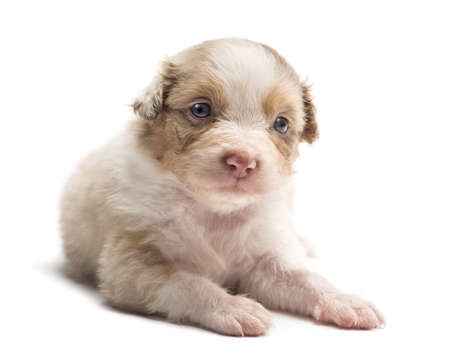 Australian Shepherd puppy, 24 days old, lying and portrait against white background photo