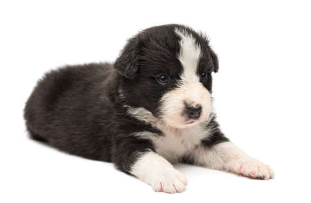 Australian Shepherd puppy, 24 days old, lying against white background photo