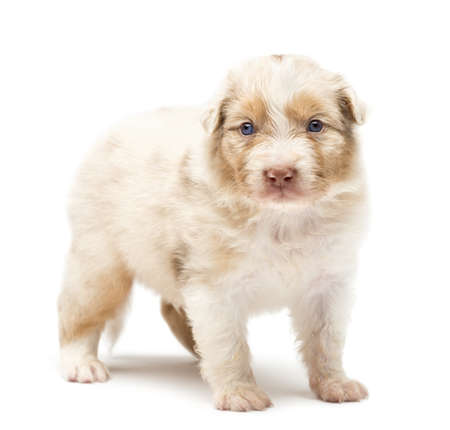 Australian Shepherd puppy, 24 days old, standing against white background photo