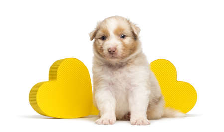 Australian Shepherd puppy, 27 days old, sitting in front of two yellow hearts against white background photo