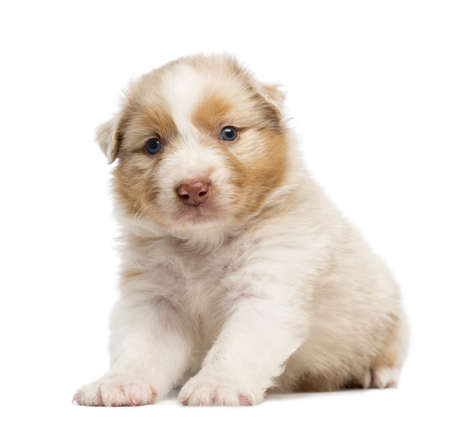 Australian Shepherd puppy, 30 days old, sitting and portrait against white background photo