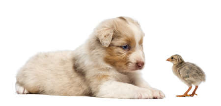 Australian Shepherd puppy, 30 days old, lying and looking at a chick against white background photo