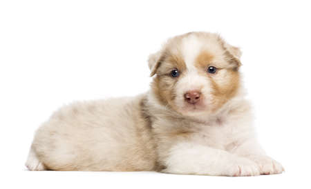 Australian Shepherd puppy, 30 days old, lying against white background photo