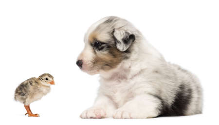 Australian Shepherd puppy, 30 days old, lying and looking at chick against white background photo