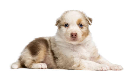 Australian Shepherd puppy, 30 days old, lying and portrait against white background photo