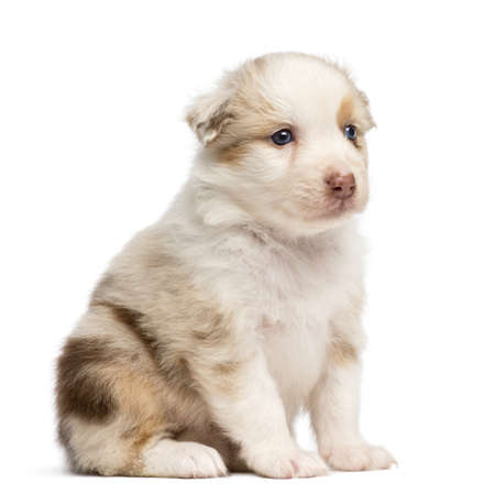 australian shepherd: Australian Shepherd puppy, 30 days old, sitting against white background Stock Photo