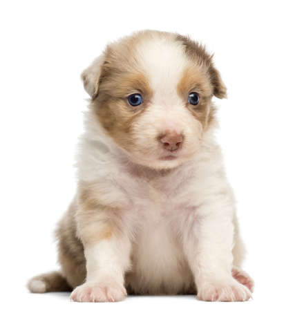 Australian Shepherd puppy, 30 days old, sitting against white background photo