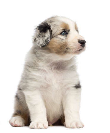 Australian Shepherd puppy, 1 months and 3 days old, sitting and looking right against white background photo