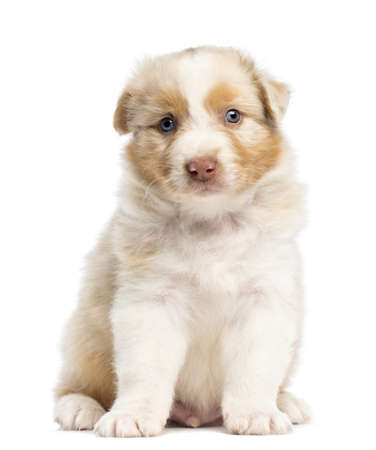 Australian Shepherd puppy, 1 months and 3 days old, sitting and portrait against white background photo