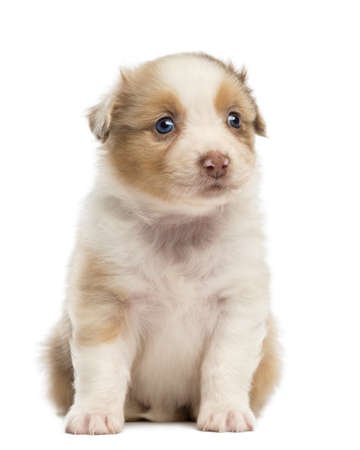 australian shepherd: Australian Shepherd puppy, 1 months and 3 days old, sitting and looking away against white background