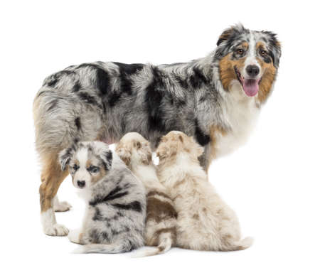 Mother Australian shepherd with three puppies, 6 weeks old, two are suckling and on is portrait against white background photo