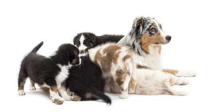 australian shepherd: Australian Shepherd puppies, 6 weeks old, playing around their mum against white background Stock Photo