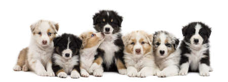 medium group: Front view of Australian Shepherd puppies, 6 weeks old, sitting and lying in a row against white background
