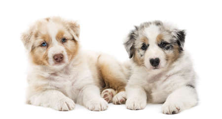 Two Australian Shepherd puppies, 6 weeks old, lying against each other against white background photo