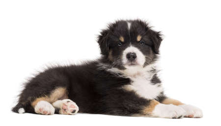 australian shepherd: Australian Shepherd puppy lying and portrait against white background
