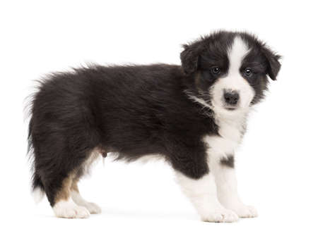 Side view of an Australian Shepherd puppy standing and portrait against white background photo