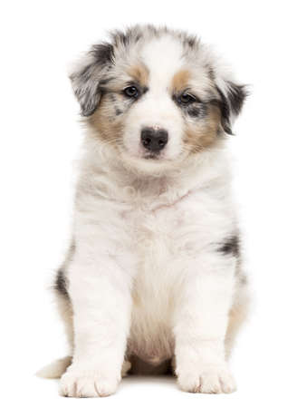 Australian Shepherd puppy sitting and portrait against white background photo